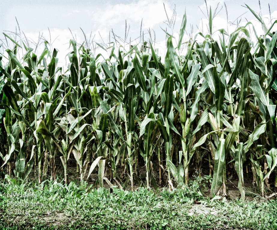 corn-field-cw